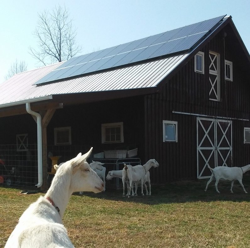 A Happy goat looking at rooftop solar, installed by Yes Solar Solutions